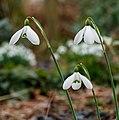 Sneeuwklokje (Galanthus nivalis). Locatie, Natuurterrein De Famberhorst 02.jpg