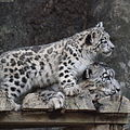 Snow leopard cub and his mother staring.jpg