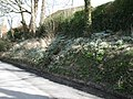 Snowdrops in The Street, Wilmington - geograph.org.uk - 1757544.jpg
