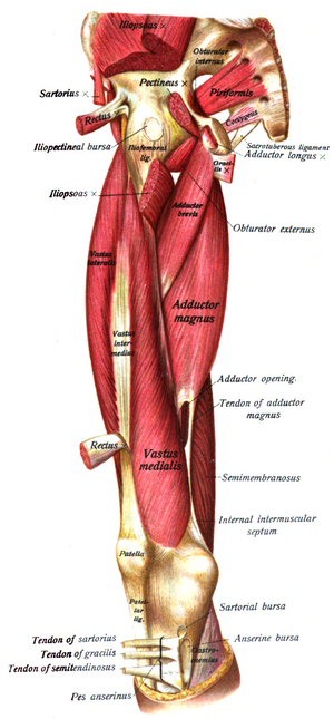 Piriformis muscle - Muscles of the gluteal and posterior femoral regions seen from the front.