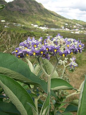 solanum mauritianum � wikip233dia