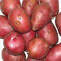 Solanum tuberosum Rosalind20100329 01.jpg