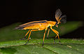 Soldier beetle from ecuador (15151686666).jpg