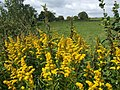 Solidago in the hedgerow - geograph.org.uk - 531885.jpg