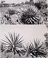 Some large-leaved ornamental plants for the tropics (1952) (20514571816).jpg