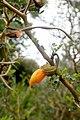 Sophora prostrata kz5.jpg