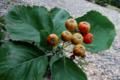 Sorbus-busambarensis-fruits.png
