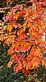 Sorbus Herbstlaub 08.jpg