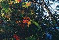 Sorbus aucuparia fruits. Paljassaare, Estonia.jpg