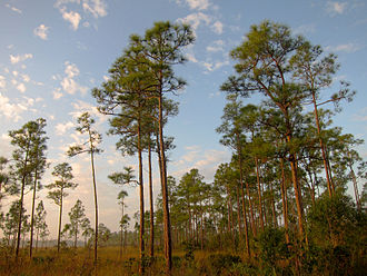 Geography and ecology of the Everglades - The pine rockland ecosystem is dominated by South Florida slash pines and shrubs like saw palmettos.