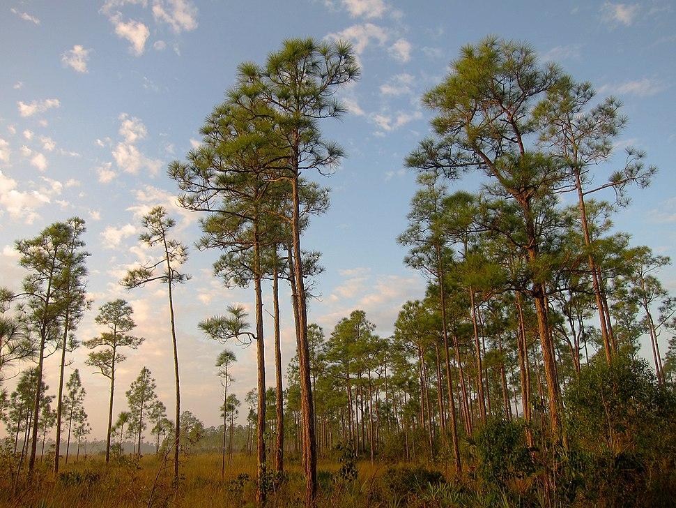 South Florida rocklands on Everglades National Park Long Pine Key Nature Trail