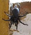 Spanish Funnel-web Spider. Mygalomorphae, Macrothele calpeiana (31946446246).jpg