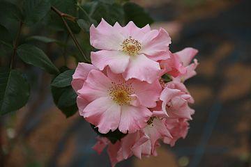 Sparrieshoop rose.jpg
