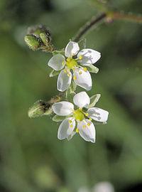 S. arvensis, åkerspärgel