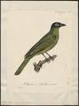 Sphecotheres viridis - 1825-1834 - Print - Iconographia Zoologica - Special Collections University of Amsterdam - UBA01 IZ16400155.tif
