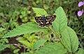 Spialia galba Fabricius – Indian Grizzled Skipper on a Sida rhombifolia plant15.JPG