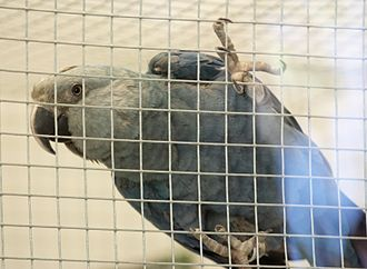 Spix's macaw - A juvenile in captivity. Note white stripe along top of beak and pale-grey bare facial skin