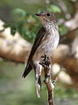 Spotted flycatcher, Muscicapa striata, at Marakele National Park, Limpopo, South Africa (16318446442).jpg