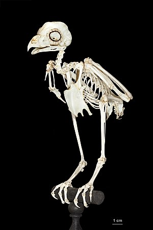 True owl - Skeleton of Strigidae. Muséum de Toulouse