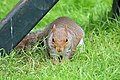 Squirrel - June 2008 (3132666953).jpg