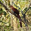 Squirrel Cuckoo. Piaya cayana - Flickr - gailhampshire (3).jpg