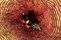 Stapelia gigantea 1DS-II 2897.jpg