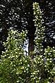 Staphylea colchica, Colchis bladdernut at Myddelton House garden, Enfield, London.jpg