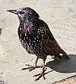 Starling (6086257247).jpg