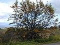 Starr-010419-0001-Grevillea robusta-habit-Kula-Maui (24164403689).jpg