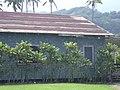 Starr-040209-0202-Cordyline fruticosa-habit-Keanae-Maui (24071410473).jpg