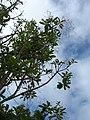 Starr-060429-7992-Charpentiera obovata-habit-Auwahi-Maui (24566948110).jpg