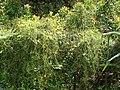 Starr-070321-5935-Cassytha filiformis-habit-Waianapanapa State Park Hana-Maui (24258528253).jpg
