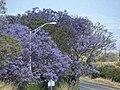 Starr-090513-7508-Jacaranda mimosifolia-flowering habit-King Kekaulike School Pukalani-Maui (24327778553).jpg