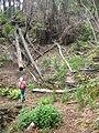 Starr-090521-9226-Fraxinus uhdei-saplings with Forest-Polipoli-Maui (24326039134).jpg