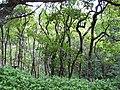 Starr-090617-0816-Aleurites moluccana-grove-Ulumalu Haiku-Maui (24337915623).jpg