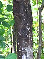 Starr-090617-0898-Sandoricum koetjape-trunk and bark-Ulumalu Haiku-Maui (24338143713).jpg