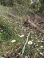 Starr-100401-4293-Erigeron karvinskianus-flowering habit-Polipoli-Maui (24731914670).jpg