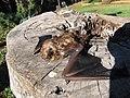 Starr-100907-9066-Eucalyptus sp-habitat with Hawaiian hoary bat Lasiurus cinereus semotus-Olinda-Maui (24683757789).jpg