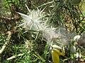 Starr-110531-5970-Ulex europaeus-habit with mite webbing biocontrol-Piiholo-Maui (24728711379).jpg