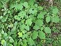 Starr-120606-6991-Solanum torvum-fruiting habit-Kahanu Gardens Hana-Maui (25144642105).jpg