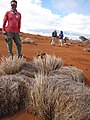 Starr-121219-1121-Cordia subcordata-sapling in pili bale from nut-Uprange-Kahoolawe (24902621160).jpg