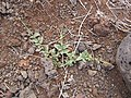 Starr-121220-1268-Boerhavia sp-habit-Kaukaukapapa-Kahoolawe (24903167900).jpg