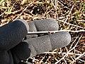 Starr-130320-3286-Mimosa pudica-recurved thorns-Mokolea Pt Kilauea Pt NWR-Kauai (25115763541).jpg