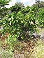 Starr-130504-4380-Citrus meyeri-fruiting habit-Hawea Pl Olinda-Maui (24842920769).jpg