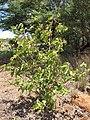 Starr-130617-4999-Cordia subcordata-habit-Kealia Pond NWR-Maui (25093946222).jpg