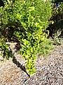 Starr-140119-3192-Citrus aurantifolia-habit-Hawea Pl Olinda-Maui (25239278685).jpg
