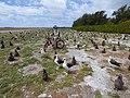 Starr-150401-0242-Coronopus didymus-Kim on bike and Laysan Albatrosses-West Beach Sand Island-Midway Atoll (25154249412).jpg