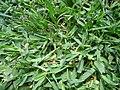 Starr-170321-0608-Stenotaphrum secundatum-in lawn-Honoapiilani Beach Park Kaanapali-Maui (33296732993).jpg