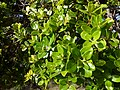 Starr-180305-0610-Metrosideros polymorpha-glabrous variety leaves-Kahikinui-Maui (40340975585).jpg