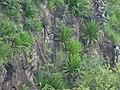 Starr-180421-0001-Furcraea foetida-on steep cliff-Honolua Lipoa Point-Maui (28571950397).jpg